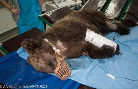 Τέλος στην υπογεννητικότητα στην Ελλάδα για… αρκούδες!
