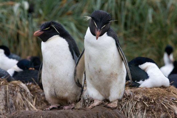 Οι παντρεμένοι πιγκουίνοι ζουν χώρια για να είναι αγαπημένοι