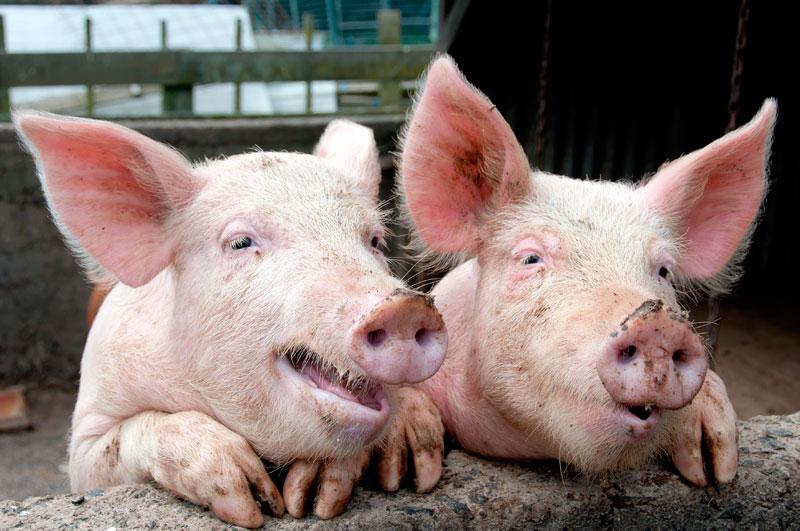 Μεταμοσχεύσεις οργάνων από γουρούνι σε άνθρωπο! Είναι γεγονός