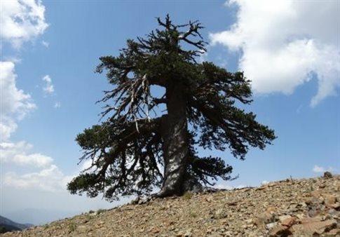 Στην Πίνδο βρίσκεται το γηραιότερο δέντρο στην Ευρώπη