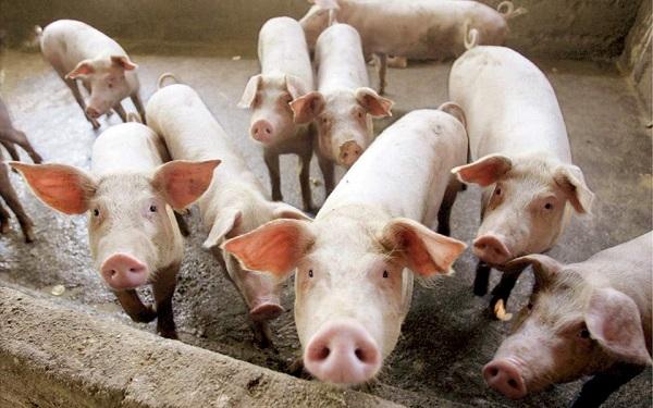 Τα γουρούνια μελλοντικοί δωρητές οργάνων