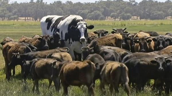 Αγελάδα με όγκο λεωφορείου